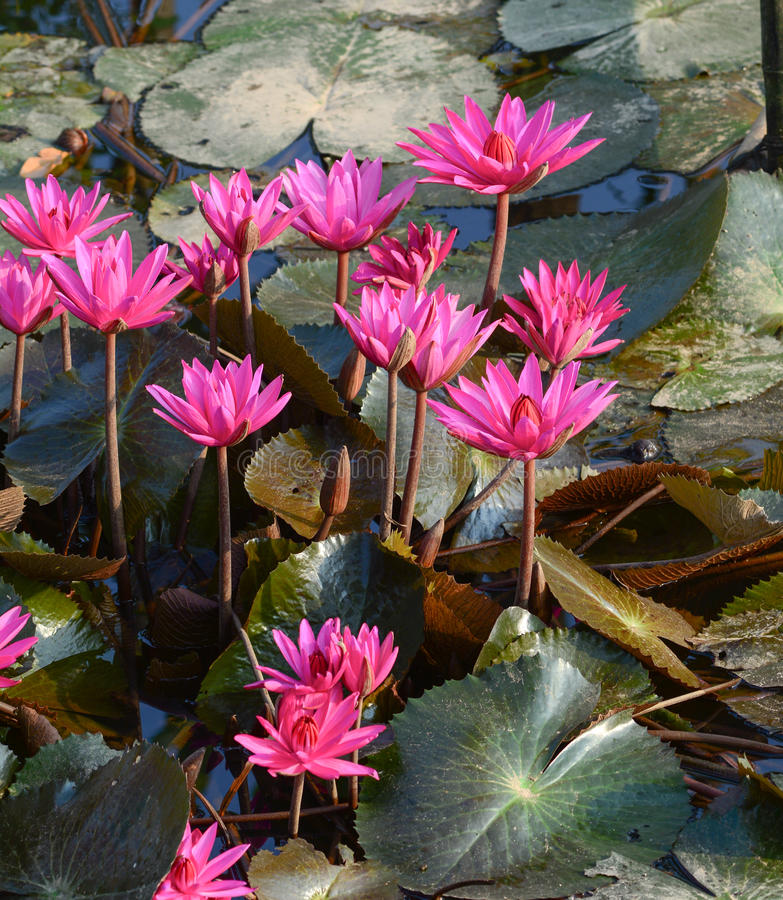 Florescência das flores de Waterlily fotografia de stock royalty free