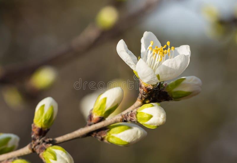Florescência das flores do abricó foto de stock