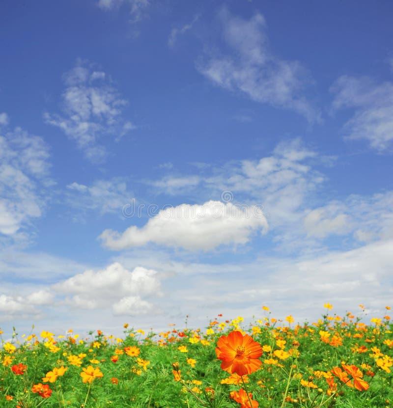 Florescência das flores do cosmos fotos de stock royalty free