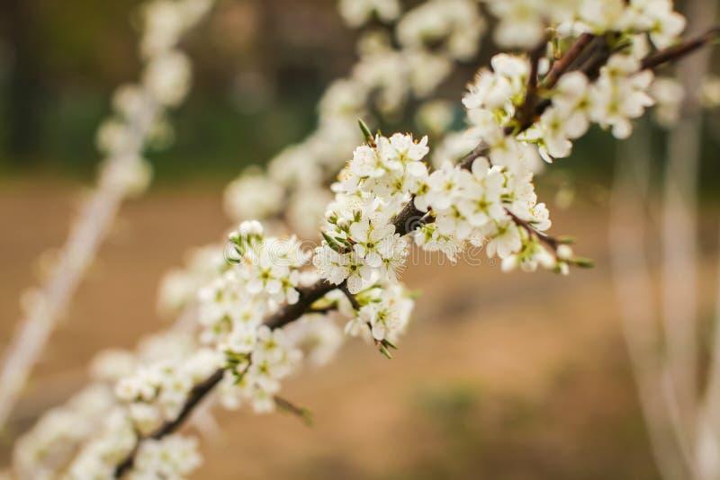 Florescência de flores da ameixa no tempo de mola com folhas verdes Fundo de Beautyful com ramo com flores brancas fotografia de stock royalty free