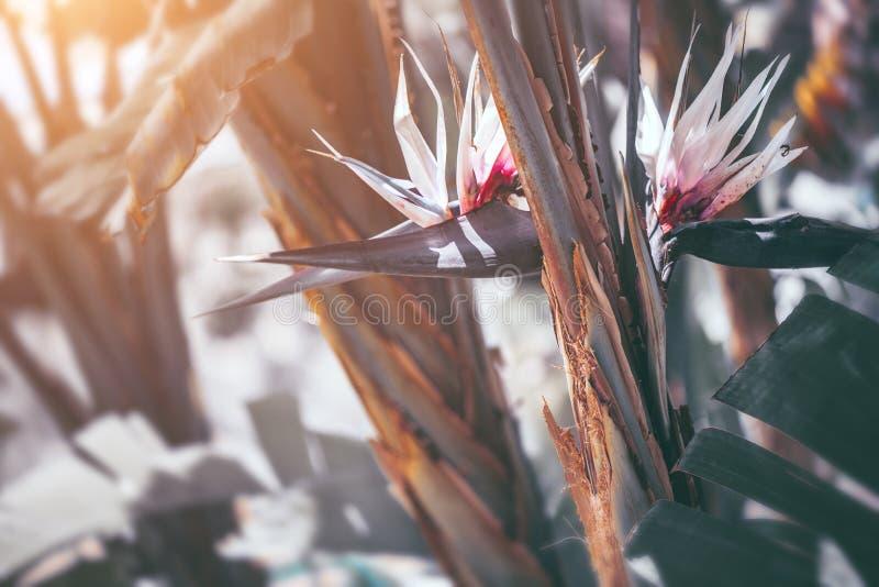 Florescência de Nikolai do Strelitzia Pássaro branco gigante da planta do paraíso com flores Banana selvagem fotos de stock