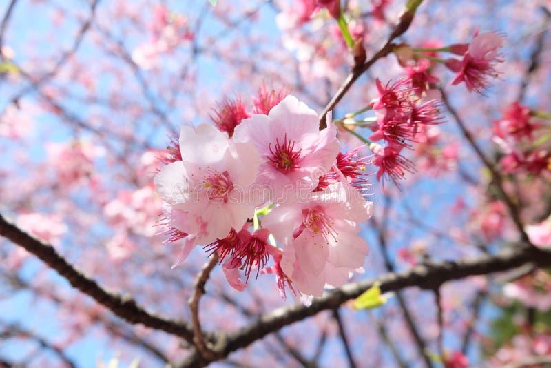 Florescência de Sakura do quintal do Tóquio foto de stock
