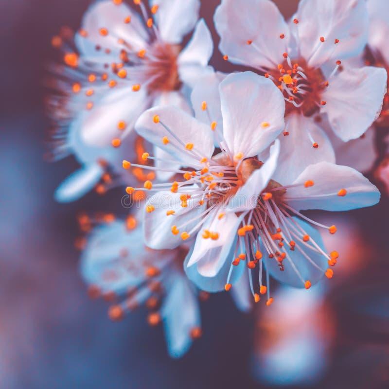 Florescência delicada da árvore de cereja imagem de stock royalty free