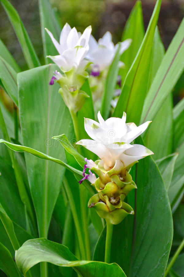 Florescência do alismatifolia da curcuma fotografia de stock