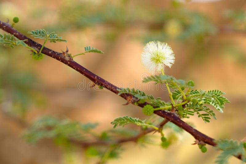 Florescência do branco da acácia fotografia de stock