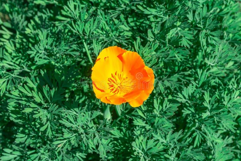 Florescência do californica de Eschscholzia da flor da papoila de Califórnia imagens de stock royalty free