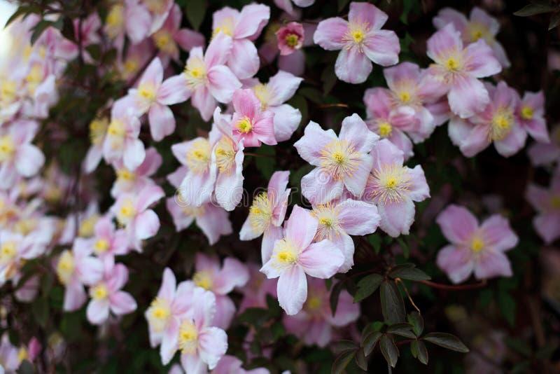 Florescência do Clematis imagem de stock
