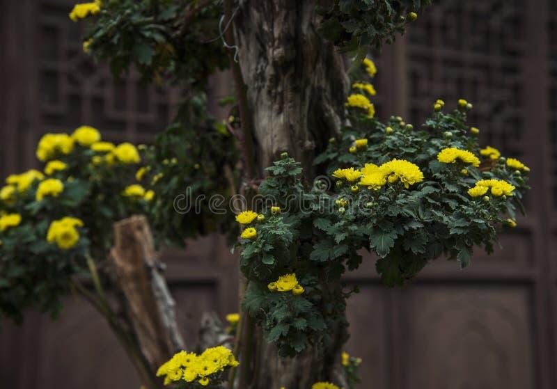 A florescência do crisântemo foto de stock royalty free