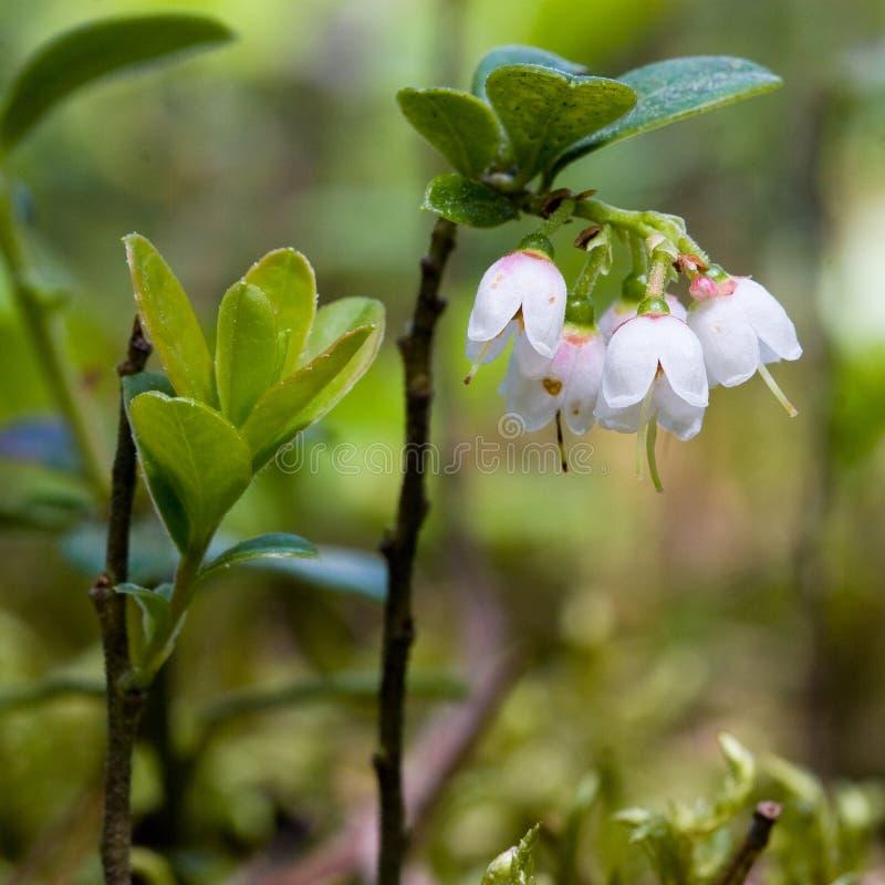 Florescência dos Lingonberries foto de stock