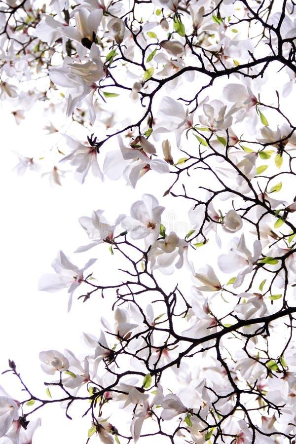 Florescência exuberante da magnólia branca imagens de stock royalty free