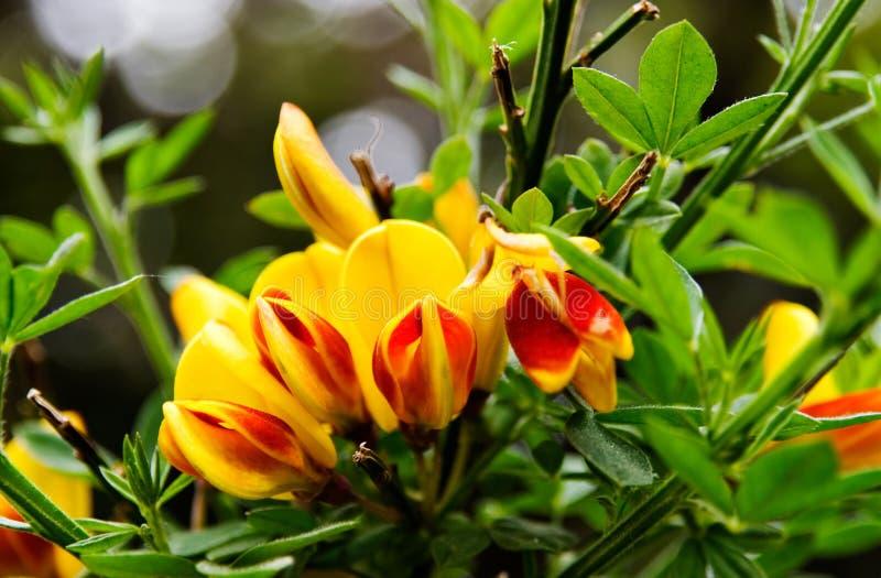 Florescência flores escocêsas vermelhas e amarelas da vassoura fotos de stock