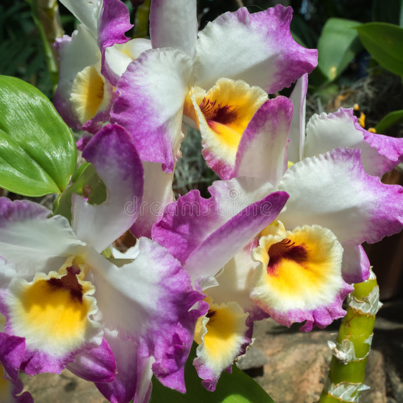 Florescência orquídeas roxas e brancas foto de stock royalty free