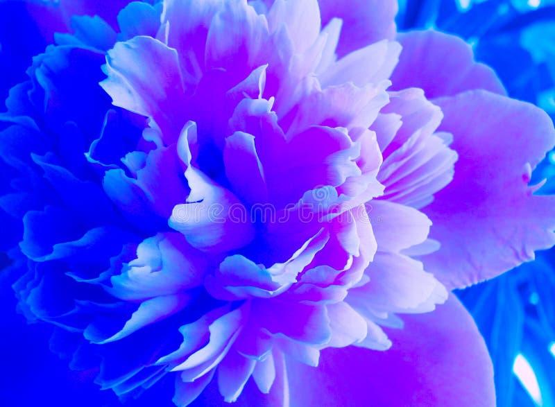 Florescência peônia azul e cor-de-rosa Flor azul bonita de Peonie Peônias no jardim imagem de stock
