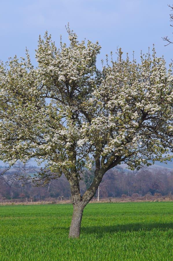 A florescência só das flores brancas da árvore imagem de stock royalty free