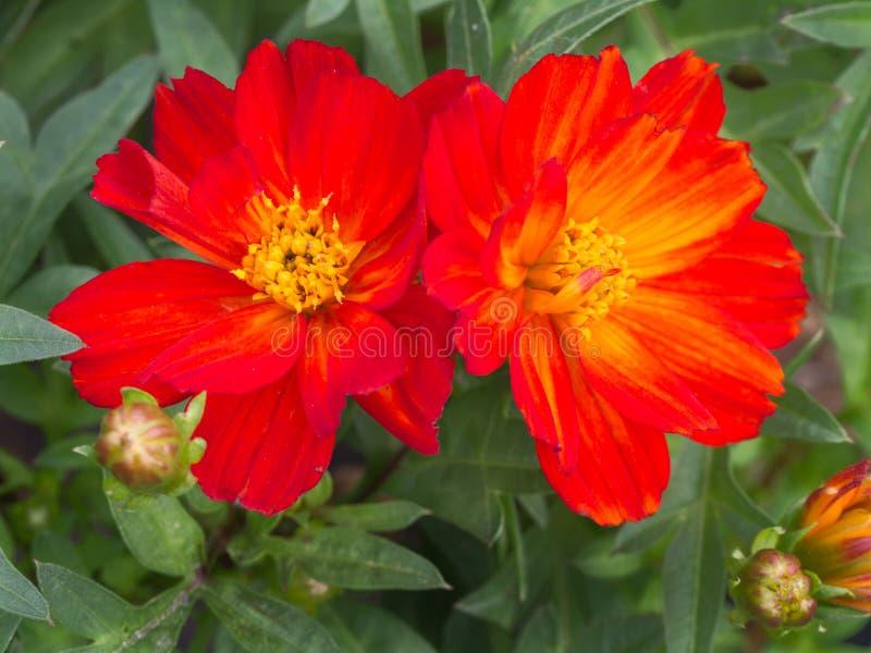 Florescência vermelha das flores do cosmos imagem de stock royalty free