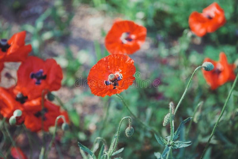 Florescência vermelha das papoilas fotografia de stock