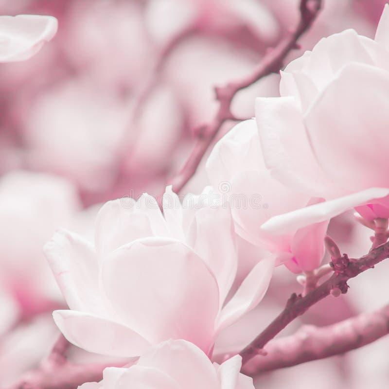 Floresc?ncia clara - a magn?lia que cor-de-rosa as flores est?o nos ramos de ?rvores da magn?lia, nascer do sol macio do inverno  imagens de stock