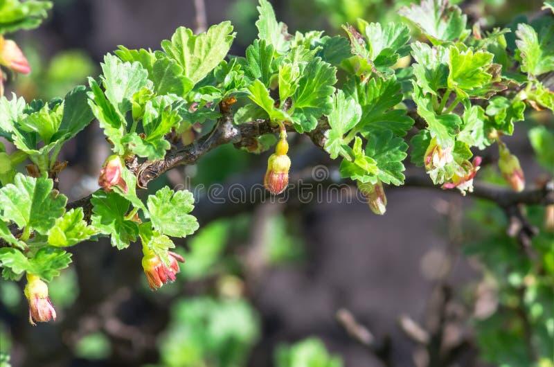 Floresce a groselha que floresce em um ramo do arbusto fotografia de stock royalty free