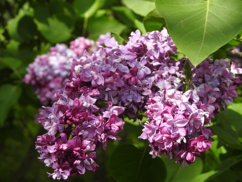 Floresce lilás imagem de stock