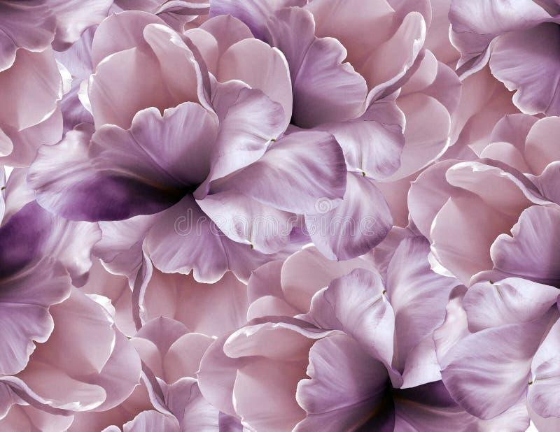 Floresce o fundo cor-de-rosa-violeta grande tulipa Roxo-branca das flores das pétalas colagem floral Composição da flor fotos de stock