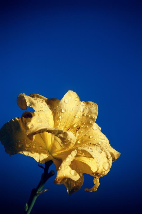 Floresce o lírio fotografia de stock