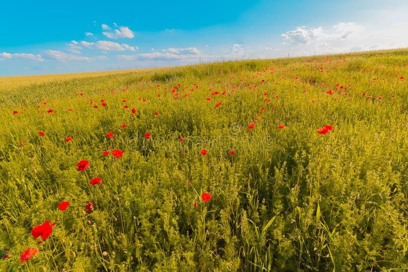 Floresce o prado de papoilas vermelhas colocam no dia ventoso sob o céu azul, fundo rural fotografia de stock