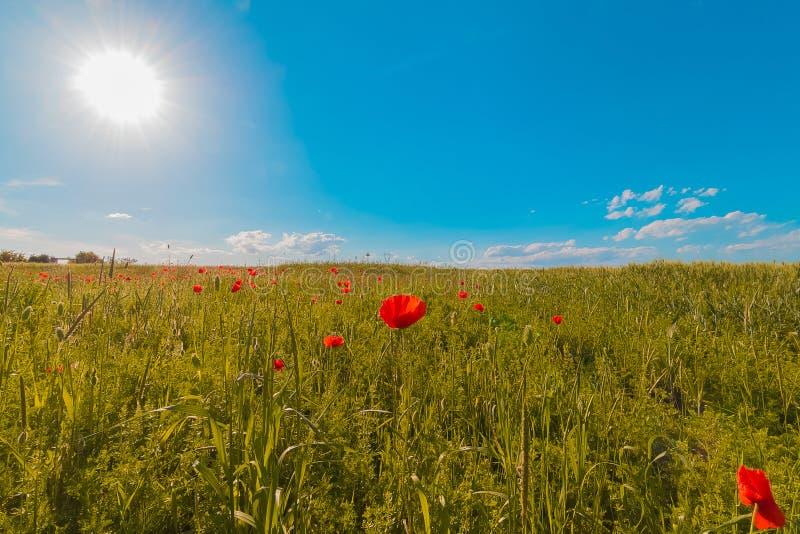 Floresce o prado de papoilas vermelhas colocam no dia ventoso sob o céu azul, fundo rural fotos de stock