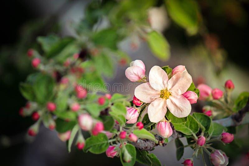 Floresce o quadril cor-de-rosa fotografia de stock royalty free