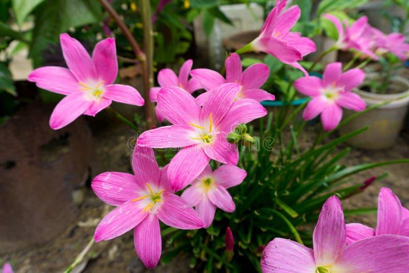 floresce o rosa dos zephyranthes na terra fotos de stock royalty free