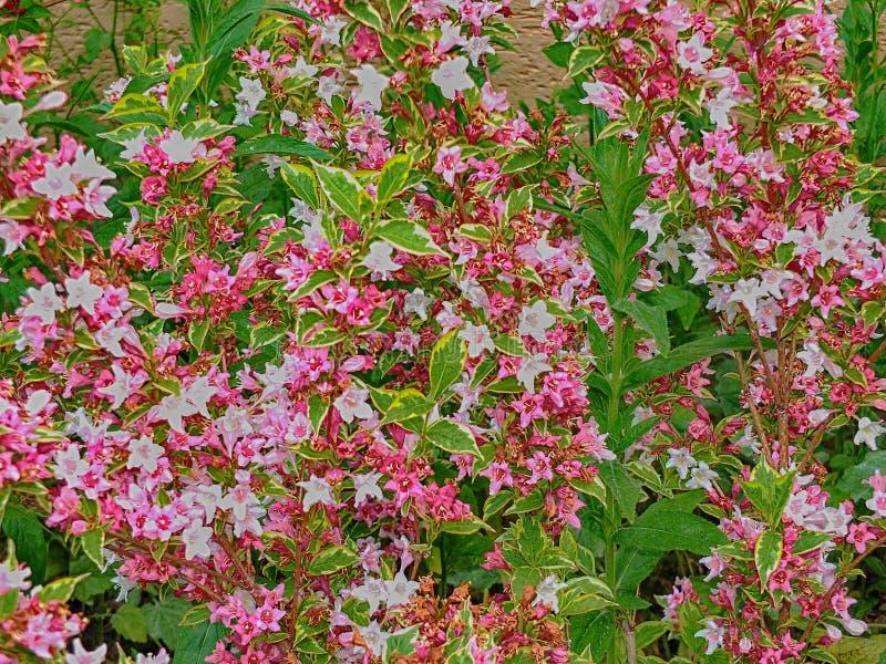 Floresce o verde do rosa dos arbustos da flora fora imagem de stock