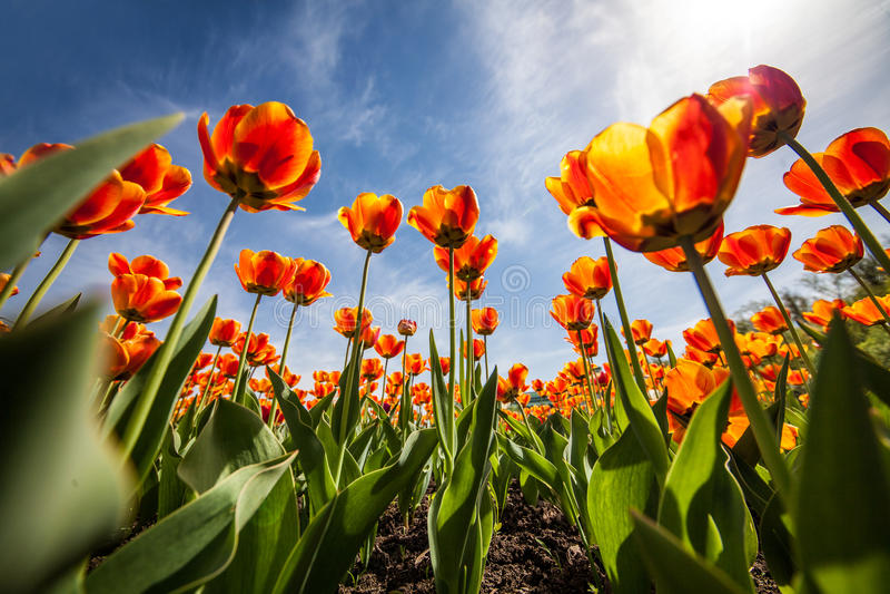 Floresce tulipas, céu azul, ntyulpany fotos de stock royalty free