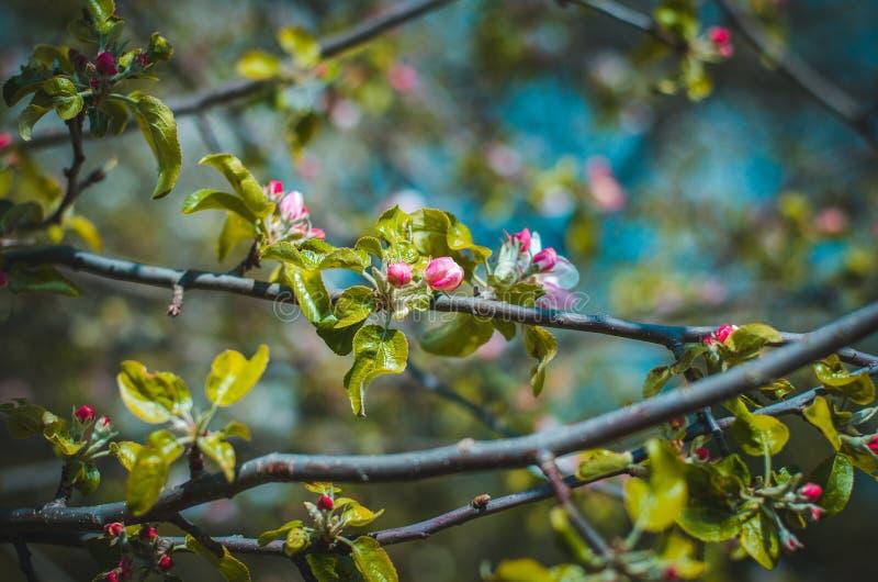 Florescence av äppleträdet i skottet för trädgårdnärbildvår royaltyfri foto