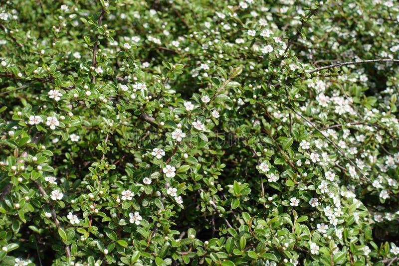 Florescence av Cotoneasterhorizontalisbusken i vår royaltyfri fotografi