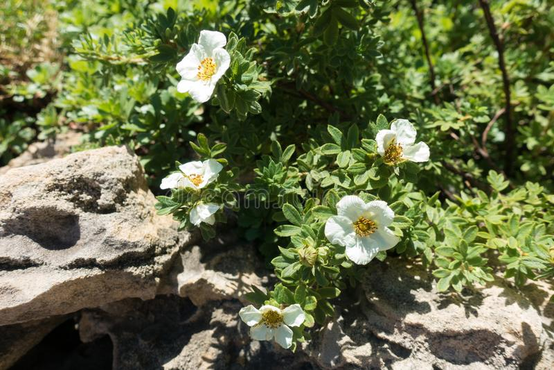 Florescence av den Dasiphora fruticosaen vaggar in trädgården arkivbild