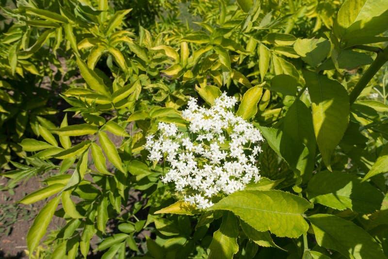 Florescence av den europeiska fläderbärbusken i vår fotografering för bildbyråer