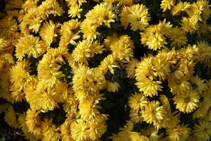 Florescence av den gula krysantemumbusken royaltyfri fotografi