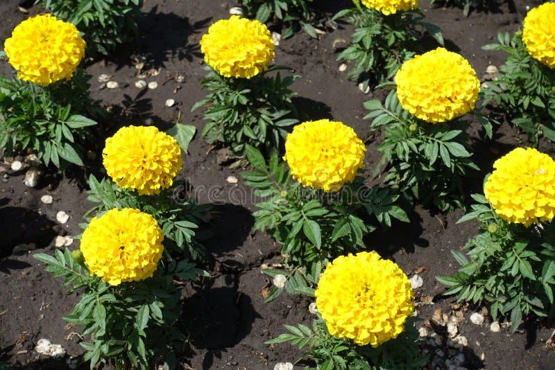 Florescence av den gula ringblomman i trädgården arkivbild