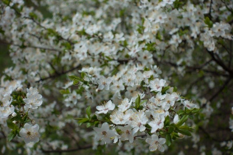 Florescence av den körsbärsröda plommonet i vår royaltyfria bilder