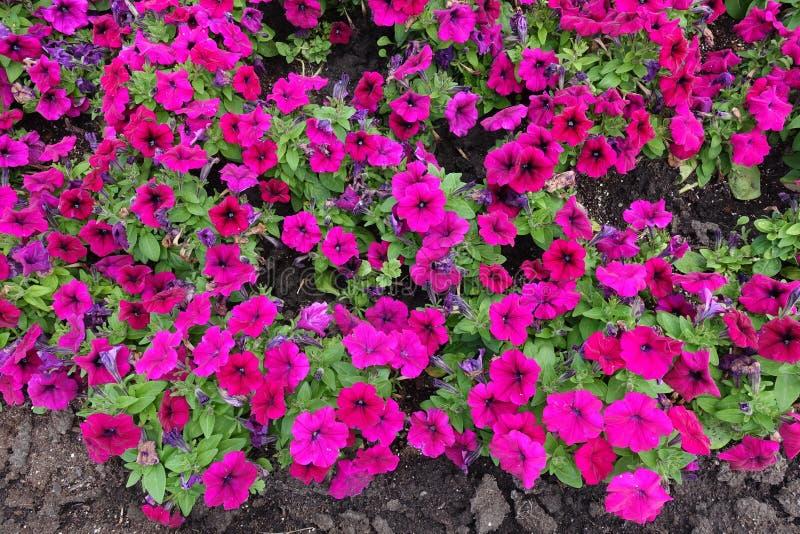 Florescence av den magentafärgade kulöra petunian royaltyfria foton