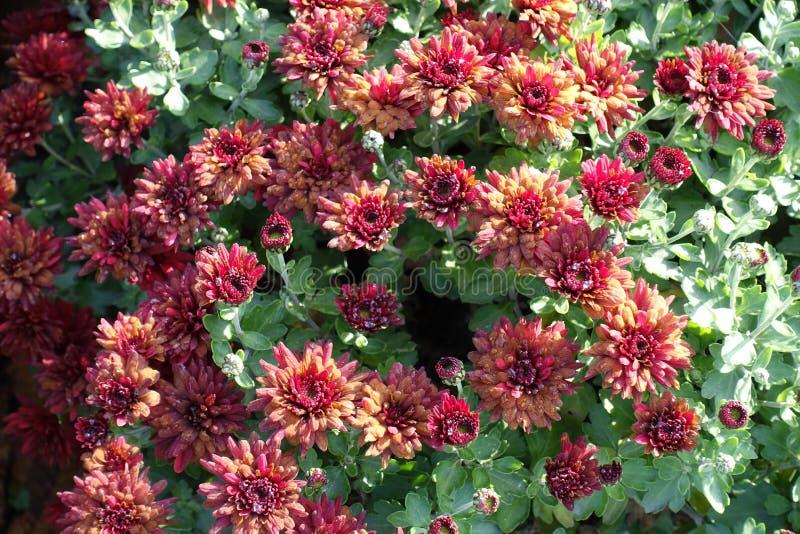 Florescence av den röda krysantemumbusken arkivbild