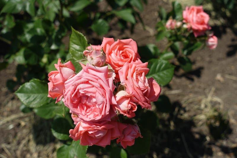 Florescence av den rosa rosen i trädgården fotografering för bildbyråer