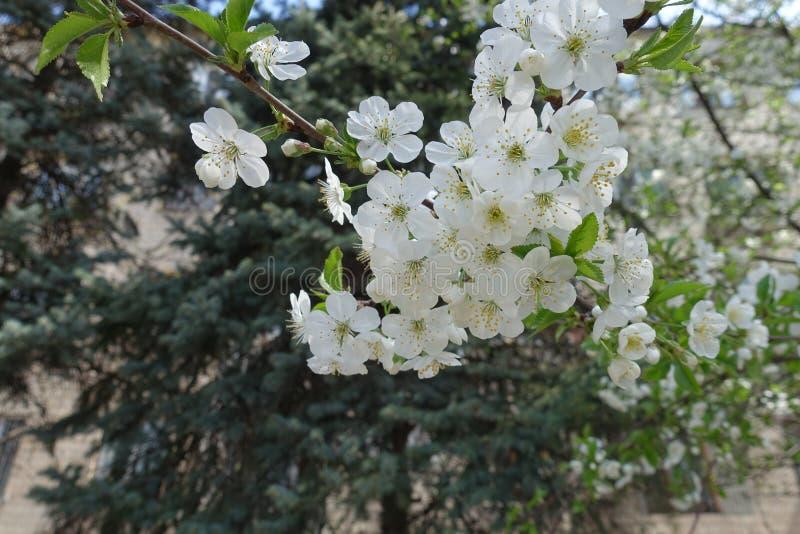 Florescence av den sura k?rsb?ret i v?r royaltyfria foton