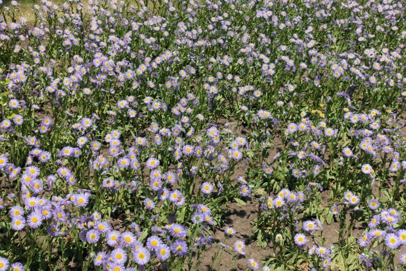 Florescence av Erigeronspeciosusväxter i Juni arkivbilder