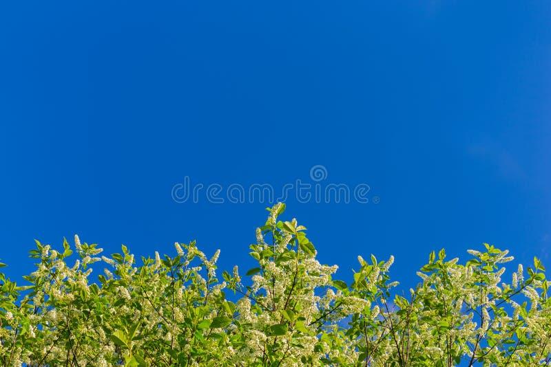 Florescence av hägget på blå himmel royaltyfria bilder