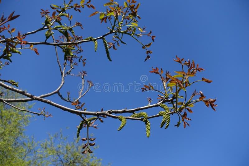 Florescence av juglans regiaträdet i vår royaltyfria foton