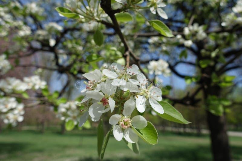 Florescence av päronet i vårträdgård royaltyfri foto