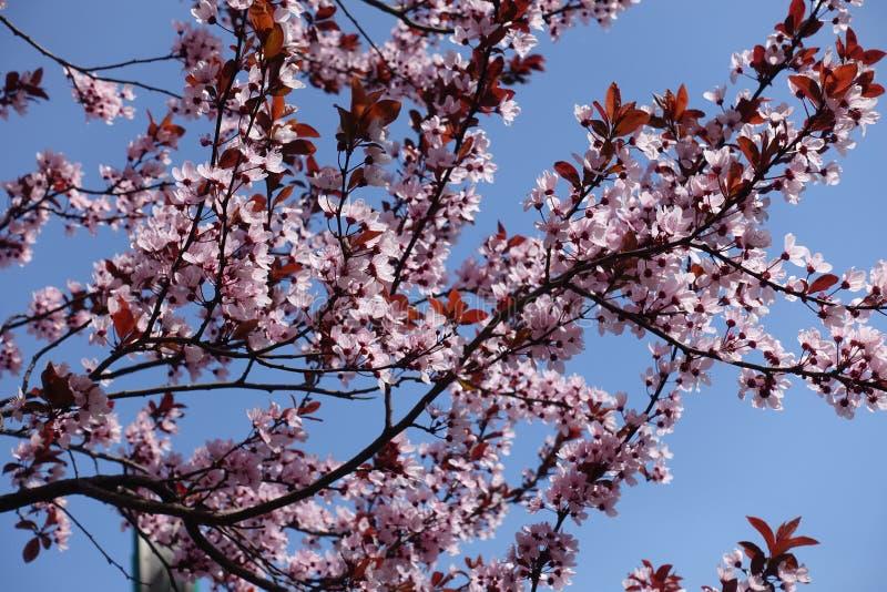 Florescence av Prunuspissardiien i vår arkivfoto