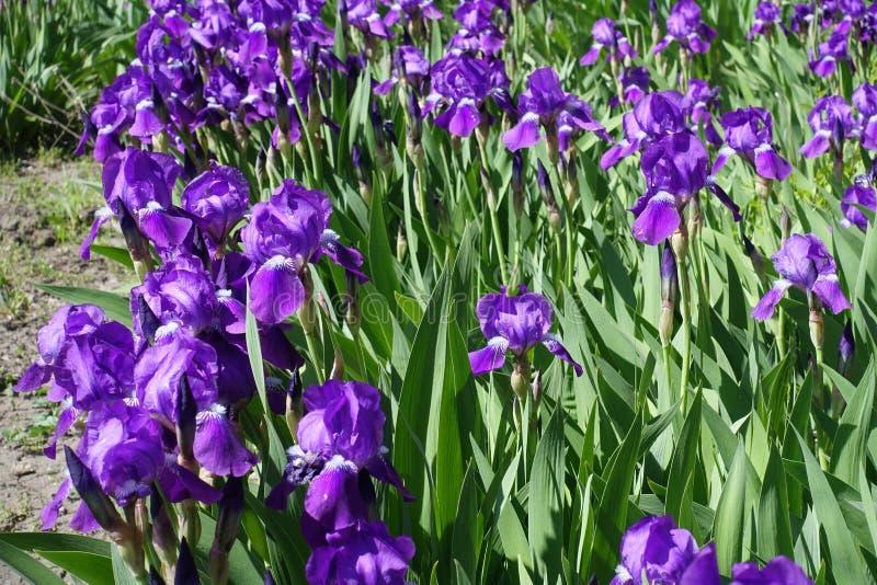 Florescence av purpurfärgade iriers i vår royaltyfri bild