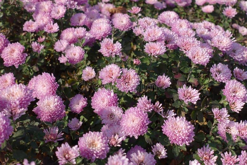 Florescence av rosa krysantemum i höst arkivfoto