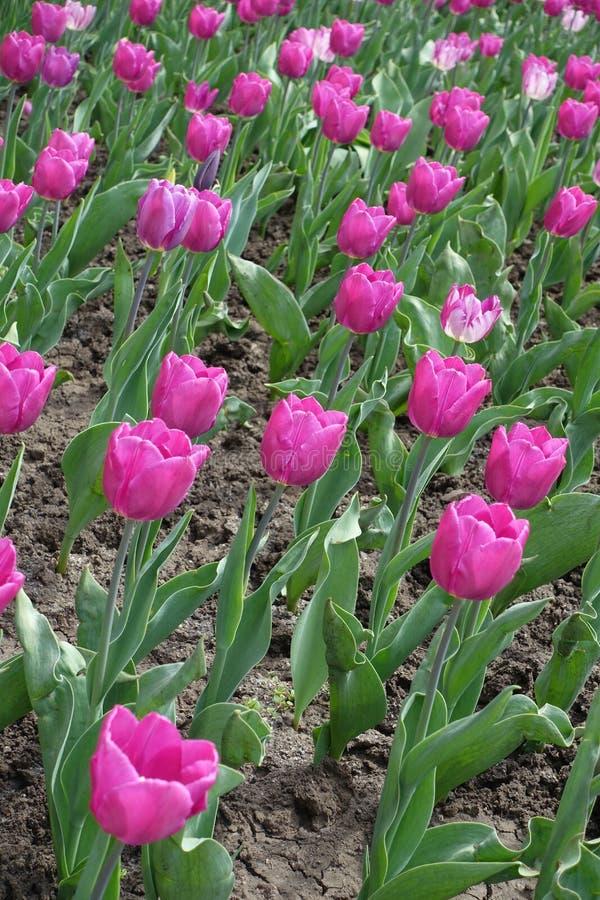 Florescence av rosa tulpan i April arkivbild
